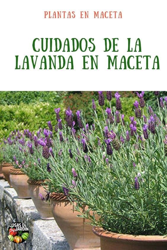 C mo cultivar lavanda en maceta consejos y cuidados - Planta lavanda cuidados ...