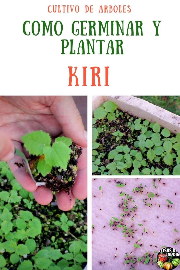En este artículo conocerás las características del kiri y una guia de cómo cultivarlo. Kiri o Pauwlonia es un arbol que te sorprendera #Huerto #Huertourbano #Jardin #Jardineria #Cultivar